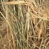 Wheaten rye hay
