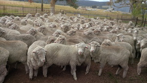270 Merino ewes, SIL in lamb to Lynwood border lester rams.