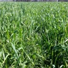 High Quality Vetch 80%/Oaten20% hay Small Squares Chemical FREE (On Irrigation)
