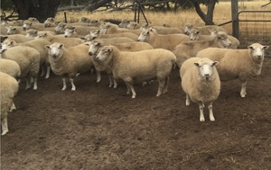 70 Approx  Perendale Mixed Age Ewes May Drop