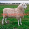 Border Leicester Rams x 25 Wanted