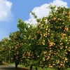 Chinese boom pushes Orange prices to $1000 a tonne