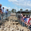 Stronger Lamb market at Horsham