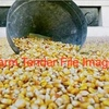 Feed Corn / Maize For Sale Off Header Now!