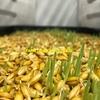 Fodder Barley Seed