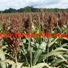 Certified organic sorghum grain