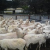 First Cross Ewes 88 x 3-6yrs old