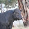 Ascot Bull Sales result