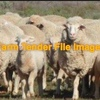 Agistment for 300 Ewes and Lambs Good Rates Paid