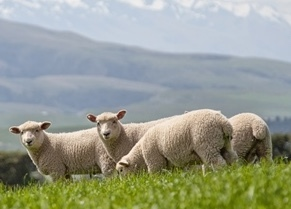 New Zealand lamb numbers drop