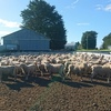"200 x Ewe  ""Composite"" Weaners For Sale"