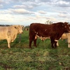 2yo Shorthorn Bulls - High Marbling