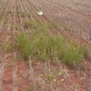 Herbicide resistant weeds a growing concern in SA's Mallee, South-East