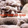 Merino Lambs Wanted