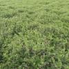 Vetch Seed West Wyalong