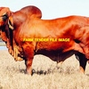 WANTED Red Brahman Bull