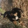 Kelpie Pups 2 x Male ( Dog ) 12 Weeks Old
