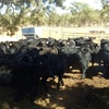 Angus Mixed Sex Weaners