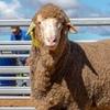 Pooginook, East Bungaree and Bella Lana Rams Sale results