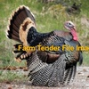 Turkeys  ( Bronze Wing and White Grays)