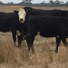 50+  Head Of Cross Bred Black Heifers