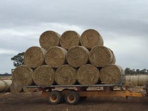 Beardless wheaten hay