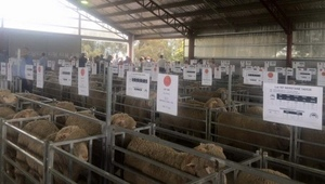Nerstane Merino's hits the big time with a $2593 average