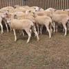 Weaner wether lambs