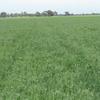 New Season Pea Hay for Sale
