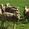 WANTED KNOWN - MISSING MERINO WEANERS
