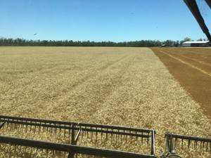 Short Season Wheat
