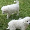 Maremma Livestock Guardian Pups
