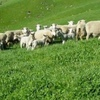 Agistment for 100 Ewes with Lambs at Foot