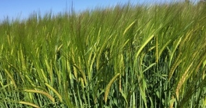 New Barley varieties to test the market