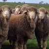 Woodpark Merino Rams average $2571 for 134 sold