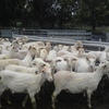 First Cross Ewes 84 x 2yrs old & 88 x 3-6yrs old