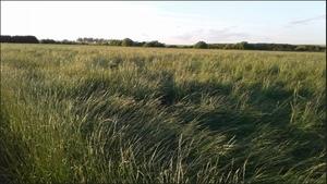 Perennial ryegrass straw