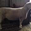 SOUTHDOWN RAMS NEW ADD  For Sale,Top quality,Top Bloodlines - Video available on inquiry