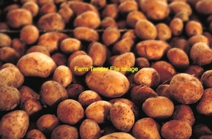 Potatoes in bulk  200 mt   STOCKFEED