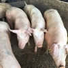 1st Cross Sows LANDRACE / LARGE WHITE All young Sows in Pig