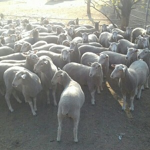 First cross ewes