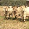 Murray Grey heifers