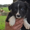 Border Collies Long haired pups purebreds