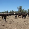 Critical decisions for your cows