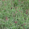 "Namoi vetch  and Common, soft-seeded vetch, as well as a common/namoi/popany vetch mix, for grazing or hay, from $1.30/kg""."