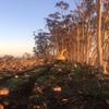 Sugargum Plantations - WANTED