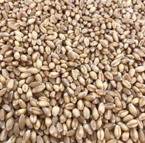 wedgetail wheat graded seed