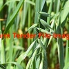 Forage / Hay Oat Seed