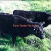 Angus Cows 1st Or 2nd Calver's x 15 Head