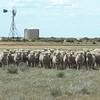 Non Mulesed Merino Sheep future supply opportunity.